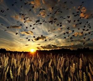 barley-birds-dawn-field-nature-Favim.com-324511